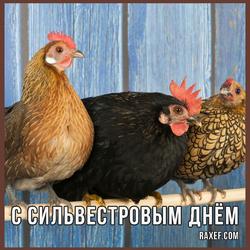 С Сильвестровым днём, с куриным праздником (открытка, картинка, поздравление)