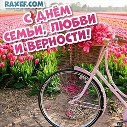 С днём семьи, любви и верности! Картинка, открытка с полем розовых тюльпанов и велосипедом с корзинкой, наполненной цветами!
