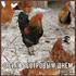 Красивые поздравления в картинках на Сильвестров день или Куриный праздник!